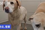 上海退役4年导盲犬苦等领养,它们需要一个真正的家!
