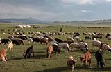 羊来了!蒙古国捐的3万只羊启动捐赠流程,羊儿个个膘肥体壮